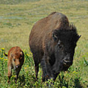 Bison Mother And Calf Poster