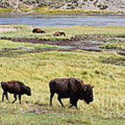 Bison Mother And Calf In Yellowstone National Park Poster