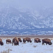 Bison On Antelope Flats Poster