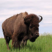 Bison On The Prairie Poster