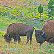 Bison Pair In Hayden Valley In Yellowstone National Park-wyoming  Poster