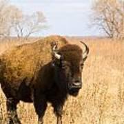 Bison Tall Grass Poster