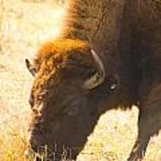 Bison Wander Poster