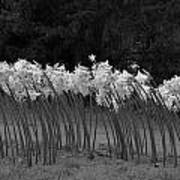 Black And White Amaryllis Poster by Denice Breaux