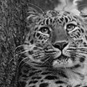 Black And White Amur Leopard Poster