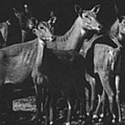 Black And White Antelopes Poster