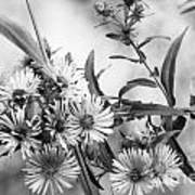 Black And White Asters Poster