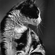 Black And White Cat In Profile  Poster