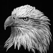 Black And White Eagle Poster