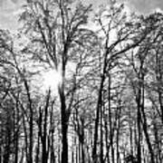 Black And White Forest Poster
