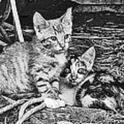 Black And White Kittens Poster