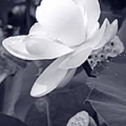 Black And White Lotus Poster