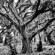 Black And White Maui Tree Poster