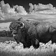 Black And White Photograph Of An American Buffalo Poster