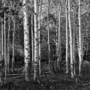 Black And White Photograph Of Birch Trees No. 0126 Poster