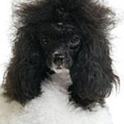 Black And White Poodle Poster