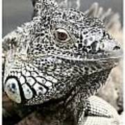 Black And White Saurian Animal Nature Iguana Poster