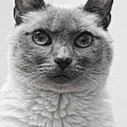Black And White Siamese Cat Poster