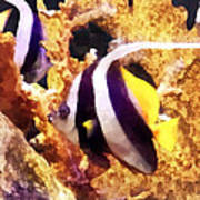 Black And White Striped Angelfish Poster