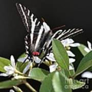 Black And White Swallowtail Square Poster