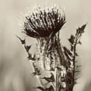Black And White Thistle Poster