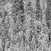 Black And White Trees In A Forest Poster