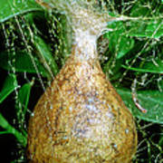 Black And Yellow Garden Spider Egg Sac Poster