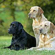 Black And Yellow Labrador Retrievers Poster