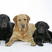 Black And Yellow Labradors With Puppy Poster