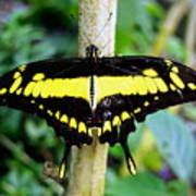 Black And Yellow Swallowtail Butterfly Poster