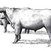 Black Angus Steers On Almshouse Road Poster by William Beauchamp