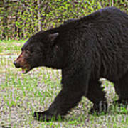Black Bear Approaching Poster