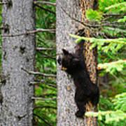 Black Bear Cub Climbing A Pine Tree Poster