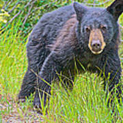 Black Bear Cub Near Road In Grand Teton National Park-wyoming Poster