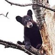 Black Bear Cub Up In A Dead Tree In Northern Minnesota Poster