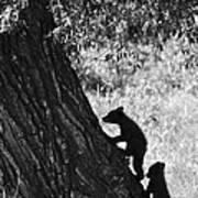 Black Bear Cubs Climbing A Tree Poster