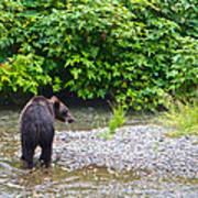 Black Bear Eating A Salmon In Fish Creek In Tongass National Forest-ak Poster
