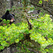 Black Bear Family In A Tree Poster