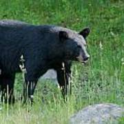 Black Bear Female Poster