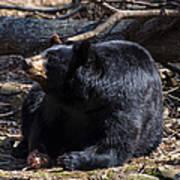 Black Bear Guarding Food Poster