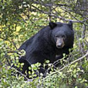 Black Bear II Poster