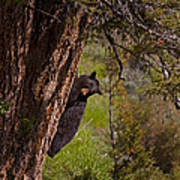Black Bear In A Tree Poster