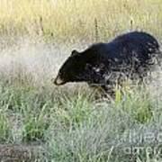 Black Bear In Autumn Poster
