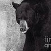 Black Bear Pose Poster
