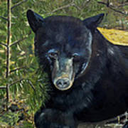Bear Painting - Scruffy - Profile Cropped Poster