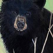 Black Bear Staredown Poster