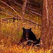 Black Bear Sticking Out Her Tongue  Poster