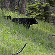 Black Bear With Cub Symetrical On Hillside Poster