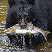 Black Bear With Salmon Poster