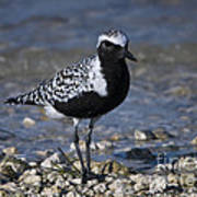 Black-bellied Plover No.2 Poster